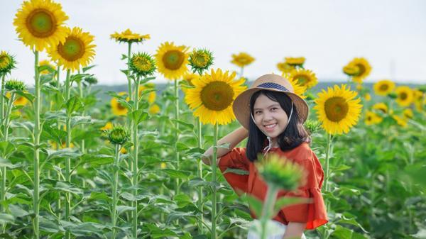 Gio An trồng hoa hướng dương phục vụ du lịch cộng đồng