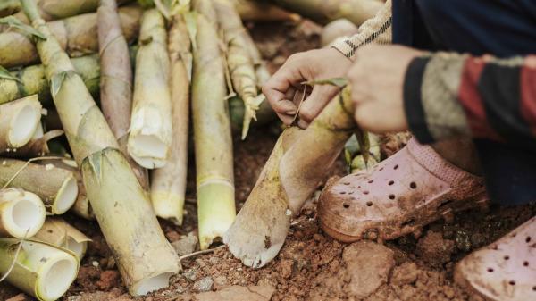 Theo chân bạn nhỏ Quảng Trị hái măng dọc dãy Trường Sơn