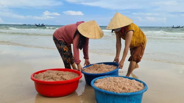 Ngư dân bãi ngang Quảng Trị được mùa ruốc biển
