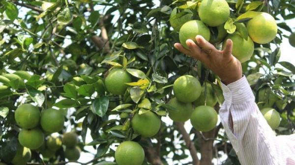 """Vùng trồng cam lớn nhất Quảng Trị loay hoay tìm đầu ra giữa """"bão"""" Covid-19"""