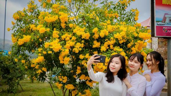 Chiêm ngưỡng con đường hoa chuông vàng nở rộ ở Lao Bảo